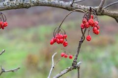 The viburnum berries Royalty Free Stock Image
