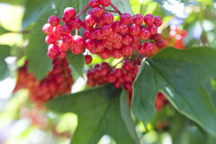 Viburnum berries Stock Images