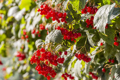 Viburnum berries red Royalty Free Stock Image