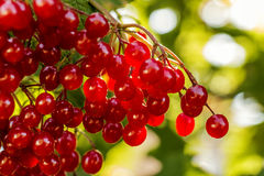 Viburnum berries red Stock Photography