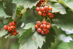 Viburnum berries Stock Image