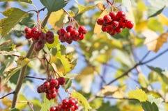 Viburnum berries Stock Photos