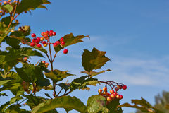 Viburnum berries Stock Photography