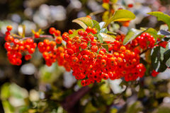 Viburnum berries ripen on the bush Stock Photography