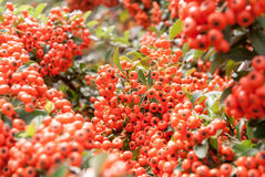 Viburnum berries ripen on the bush Stock Images