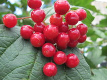Viburnum berries. Ripen in the garden Stock Images