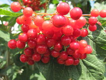 Viburnum berries. Ripen in the garden Royalty Free Stock Images