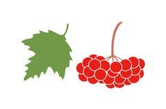 Viburnum berries set. Isolated viburnum on white background Royalty Free Stock Photo