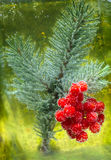 Viburnum berries and spruce branches Stock Photography