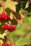 Viburnum berries in the tree Royalty Free Stock Photography