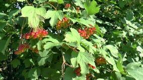 Viburnum berries stock video footage