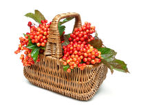 Viburnum berries in a wicker basket isolated on white background Royalty Free Stock Images
