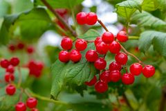 Branch of magnificent bright red and juicy berries of viburnum royalty free stock photo