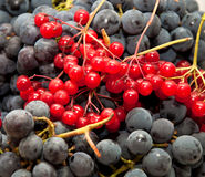 Viburnum berries and wine grapes Royalty Free Stock Image