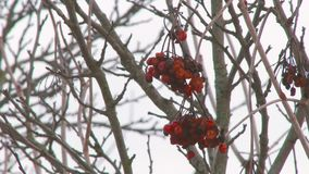 Viburnum berries in winter. Red berries on branches covered with snow swaying in the wind stock video