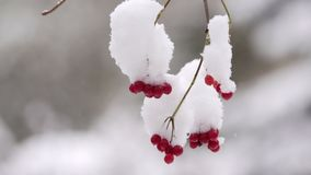 Viburnum berries in winter. Snow. The guelder-rose hangs on a branch close up. In the afternoon the guelder-rose in snow stock video