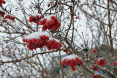 Viburnum berries in winter on a tree Royalty Free Stock Images