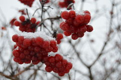 Viburnum berries in winter on a tree Stock Photography