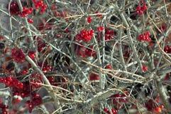 Viburnum berries Royalty Free Stock Image