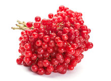 Viburnum berry Royalty Free Stock Photo