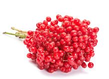 Viburnum berry Stock Images