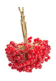 Viburnum berry Royalty Free Stock Image
