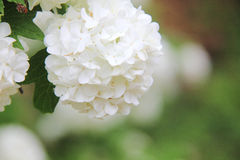 Viburnum. Biały kwiat. Fotografia Stock