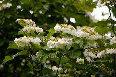 Viburnum in bloom. The flowers and leaves Rowan Royalty Free Stock Photography