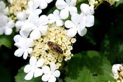 Viburnum blossom Stock Images