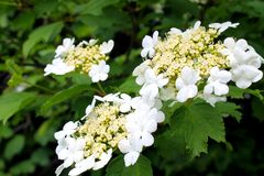Viburnum blossom Royalty Free Stock Photos
