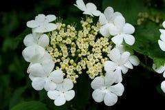 Viburnum blossom Royalty Free Stock Image