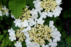 Viburnum blossom Stock Photos