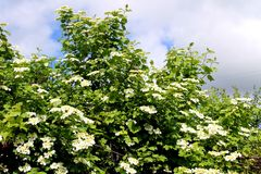 Viburnum blossom Royalty Free Stock Photo