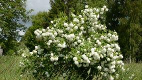 Viburnum blossoming bush in spring wind stock video