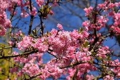 Free Viburnum Bodnantense Charles Lamont Arrowwood Tree Blossom Royalty Free Stock Photo - 142869965