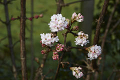 Viburnum bodnantense. A group of Viburnum bodnantense flowers with a dark background royalty free stock images