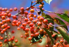 Viburnum branch Stock Photography
