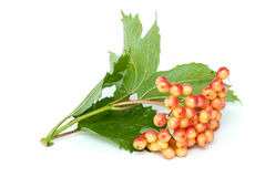 Viburnum branch with berries. Isolated on the white background Stock Images