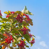 Viburnum branch with berries Royalty Free Stock Photography