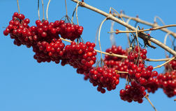 Viburnum branch Royalty Free Stock Image