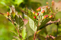 Viburnum on a branch Stock Photos