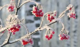 Viburnum branch with red berries hoarfrost covered close up. Beautiful winter landscape at bright sunny day in the birch forest stock image