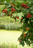 Viburnum branch with red berries over the river Royalty Free Stock Photo