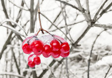 Viburnum branch with red berries in snow. Nature Stock Image