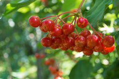 Viburnum. Branch of red viburnum tree stock images