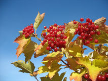 Viburnum bunch against blue sky background stock photos