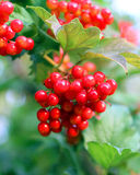 Viburnum bunch Stock Images