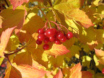 Viburnum bunch against yellow leaves. Autumn stock photo