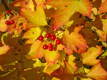 Viburnum bunch against yellow leaves. Autumn stock photography