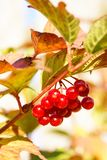 Viburnum. A bunch of berries of viburnum on a branch in autumn day Stock Photo